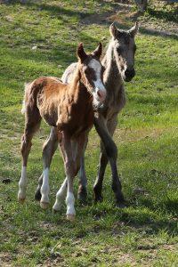 Nurse Mare Foals 2016